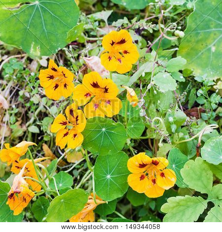 Yellow Flowers And Green Leaves Of Nasturtium