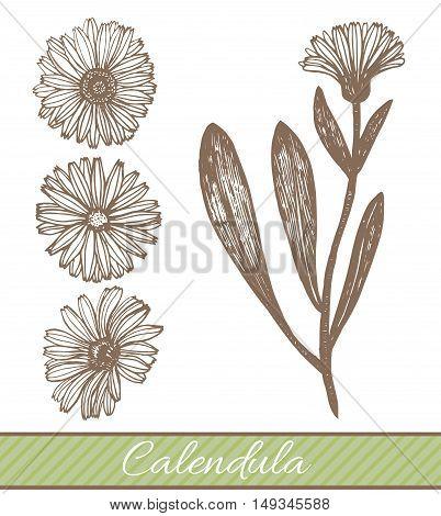 vector hand drawn graphic isolated calendula illustration