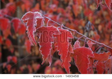 Frosty Maple Leaves