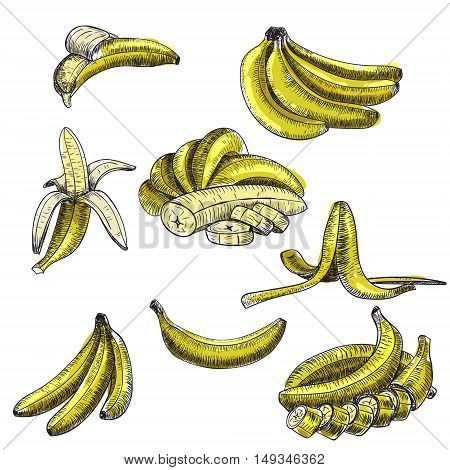 bananas of vector sketches.Detailed citrus drawing.Vintage sketch style illustration.