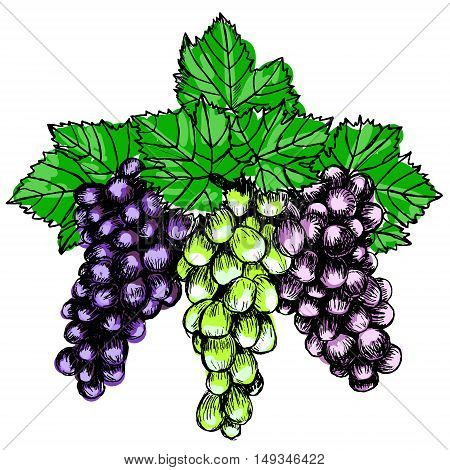 Bunch of grapes sketch style vector illustration. Old engraving imitation. Hand drawn sketch imitation