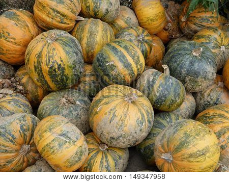 Sweet colorful and ripe pumpkin from Croatian fields