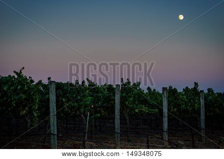 Full moon, colorful sky over Napa California vineyard at twilight. Carneros, Napa Valley wine country. Rows of green grape vines in summer.