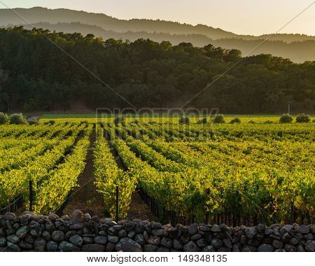 Golden glow of Napa Valley vineyards and hills at sunset. Looking down at rows of Napa grape vines at dusk.