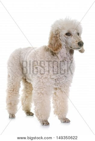 white poodle in front of white background