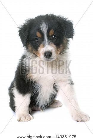 puppy australian shepherd in front of white background