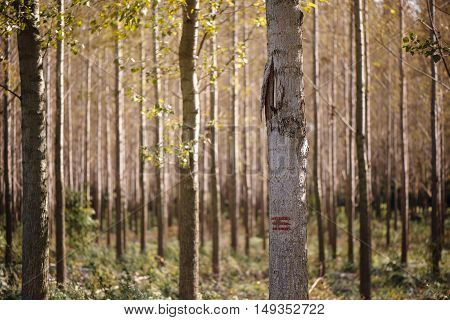 Forestry paint marking on tree trunks in woods timber being labeled to be cut of