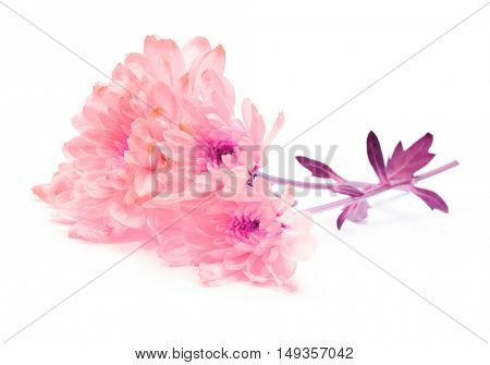 pink chrysanthemum flower on white