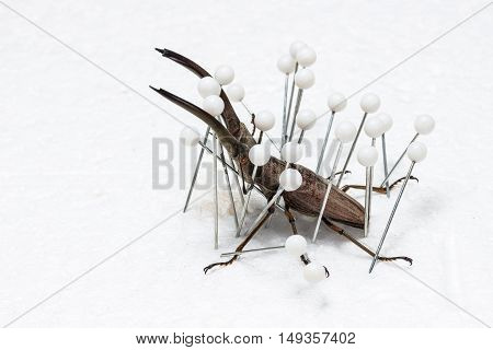 Dried Stag Beetle Dry Preservation Beetle pinning process on white background