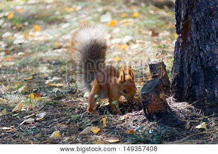 Cute red squirrel burying nuts in the forest.
