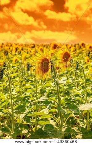 Sunflower field at sunset sky, natural background,