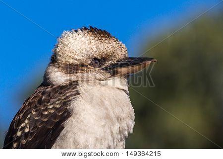 A closeup view showing the head of a kookaburra