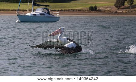 An australian pelican is landing in the water of a harbour. The background shows an anchored boat and coastline.