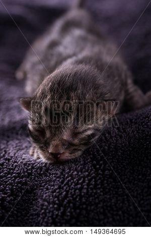 One Day Old Tabby Kitten Sleeps