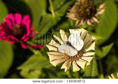 White Butterfly With Worn Wings On Dry Bloom