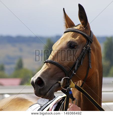 Portrait of beautiful akhal-teke horse in Pyatigorsk