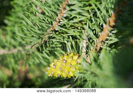 brown Pine Cone And Branches in the forest