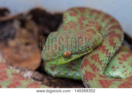 Close Up Venus' Pitviper Snake