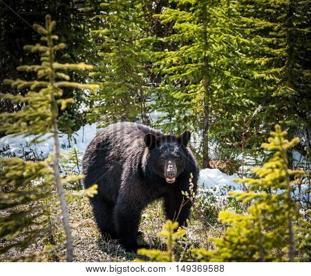 encounter with a black bear in Jasper National Park Alberta Canada