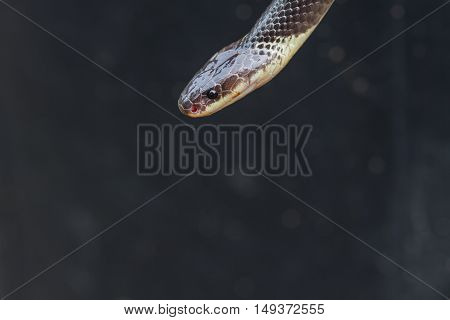 Close Up Blue Krait Snake