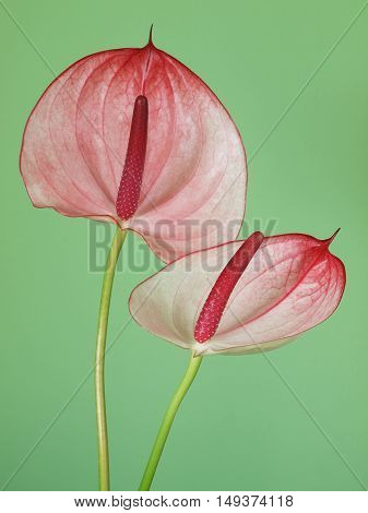 Pink anthurium flowers on the green background