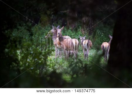 group of female deer surprised to graze in the forest
