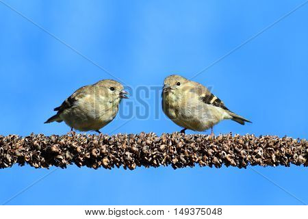 American Goldfinches (Carduelis tristis) perched with a blue background