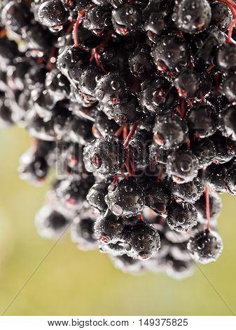 Sambucus nigra - Elderberry taken photo on a sunny day