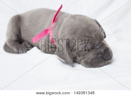 Purebred Great Dane puppy that is napping on a white sheet