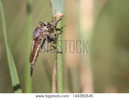 Robber Fly with prey Bumblebee early fall