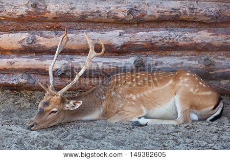 Young male deer with big beautiful horns lying on the sand with straw near a house in the forest ranger. Animals in the wild