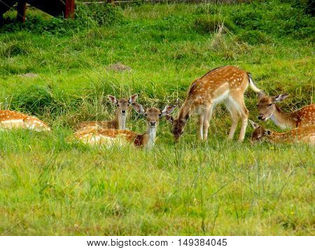 Fallow deer family on meadow in wild nature