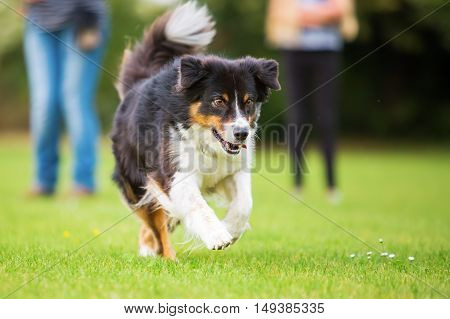 Australian Shepherd Dog Running On The Meadow