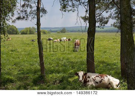 Caws on a farm feeding in a meadow photo