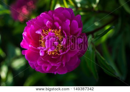 Portrait of peony flower. Photography of nature.