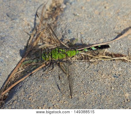 Green dragonfly that is waiting on sand set bricks for a bug to eat