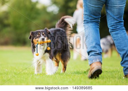 Australian Shepherd Dog Retrieving A Toy