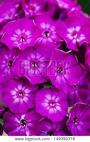 phlox purple flowers close up. It can be used as background