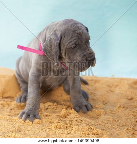 Purebred Great Dane puppy with gray hair sitting in the sand
