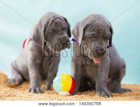 Pair of purebred Great Dane puppies on sand with a ball