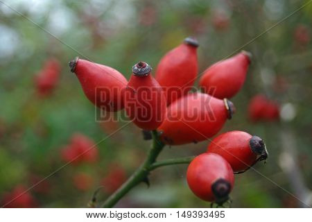 Bunch of red dog rose (Rosa canina) hips on stalk with leaves and defocussd hips as background.