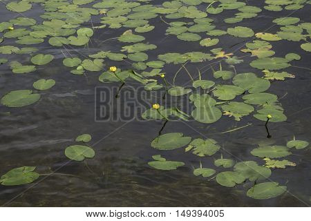Lily pads growing in the Lake with yellow buds