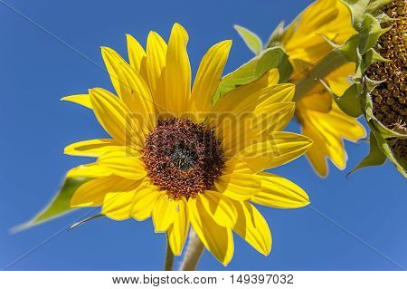 A brightly lit sunflower against a clear blue sky.