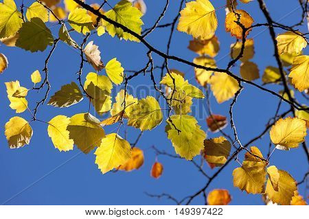 Fall leaves against blue sky in Spokane Washington.