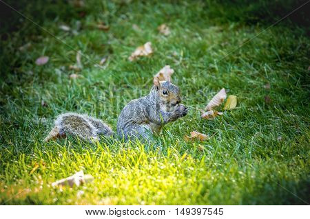 Squirrel with acorn. A cute little squirrel holds an acorn in its paws.