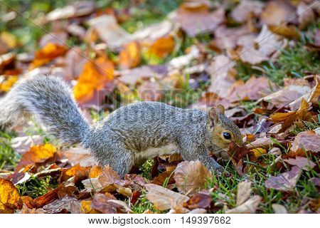 A cute little squirrel searches through leaves for food.