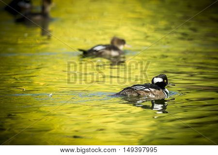 Hooded mergansers swimming in a pond at Canon Hill Park in Spokane Washington.