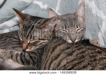 Pair of Tabby Kittens sleeping on a blanket