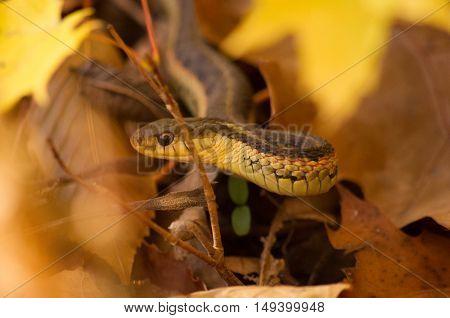 gartner snake framed in fall leaves up-close