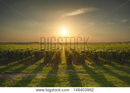 Bolgheri and Castagneto vineyard on sunset in backlight. Maremma Tuscany Italy Europe.
